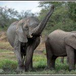 Elephant071
