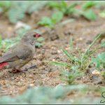 Red-billed Finch