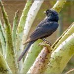 Southern-black Flycatcher