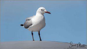 Hautlaubs Gull