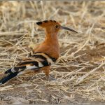 African Hoepoe