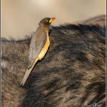 Yellow-b illed Oxpecker