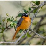 Whited-browed Robin Chat
