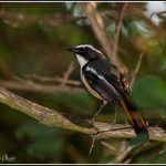 White-throated Robin Chat